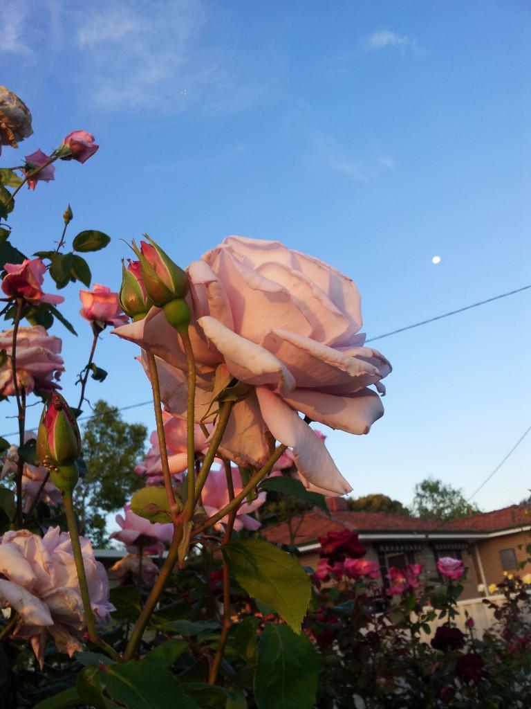 Moony Rose