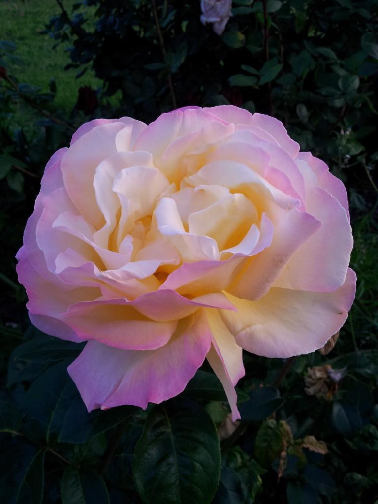 Beige Rose