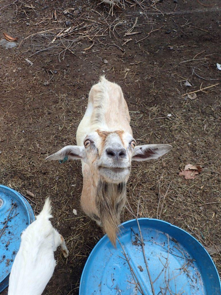 Bikelah Pulau Aman Goat