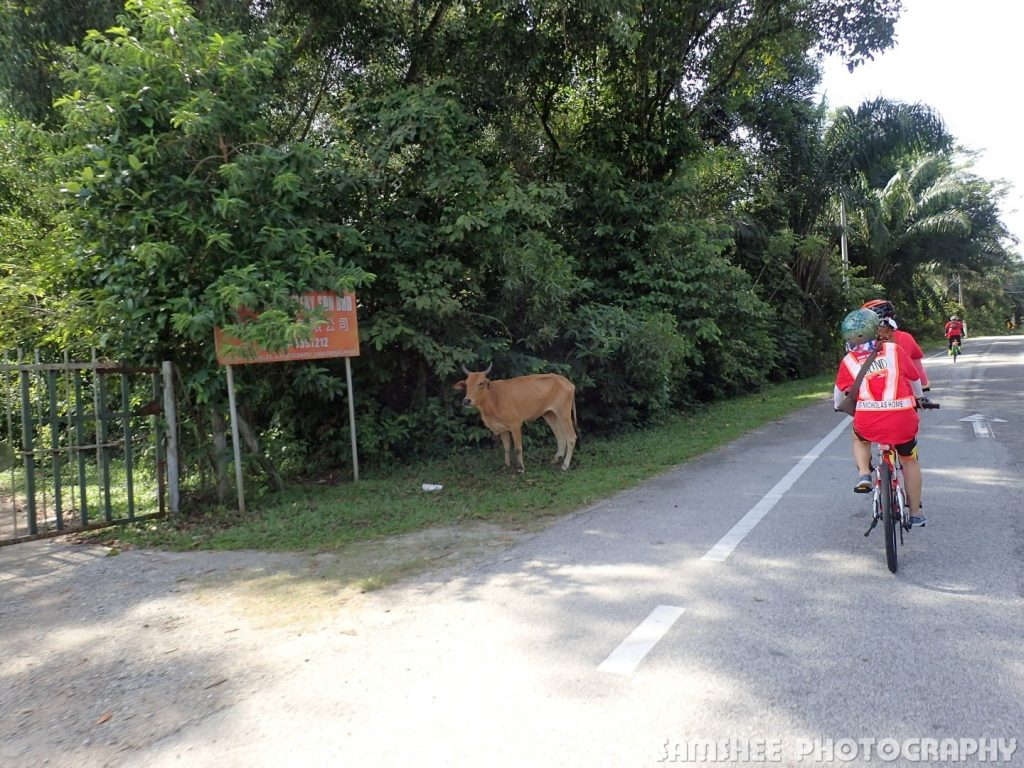 Tour de VIP Kampar Tandem Cycling Cow