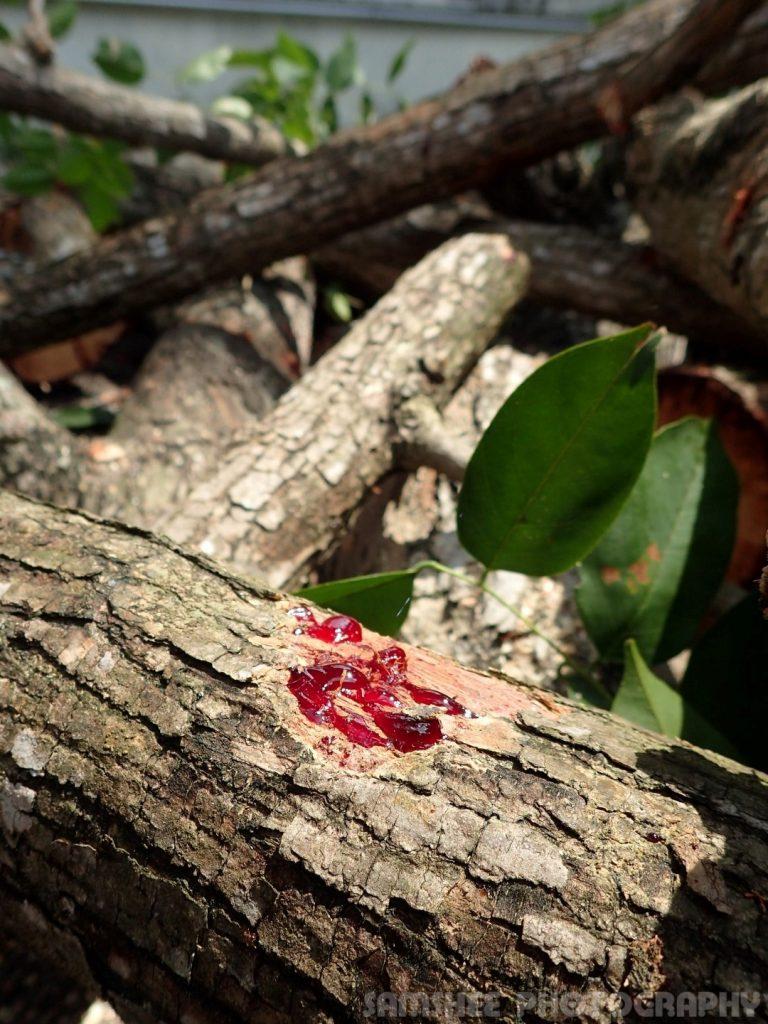 Arborists At Work Penang Heritage Trees Angsana Blood Sap