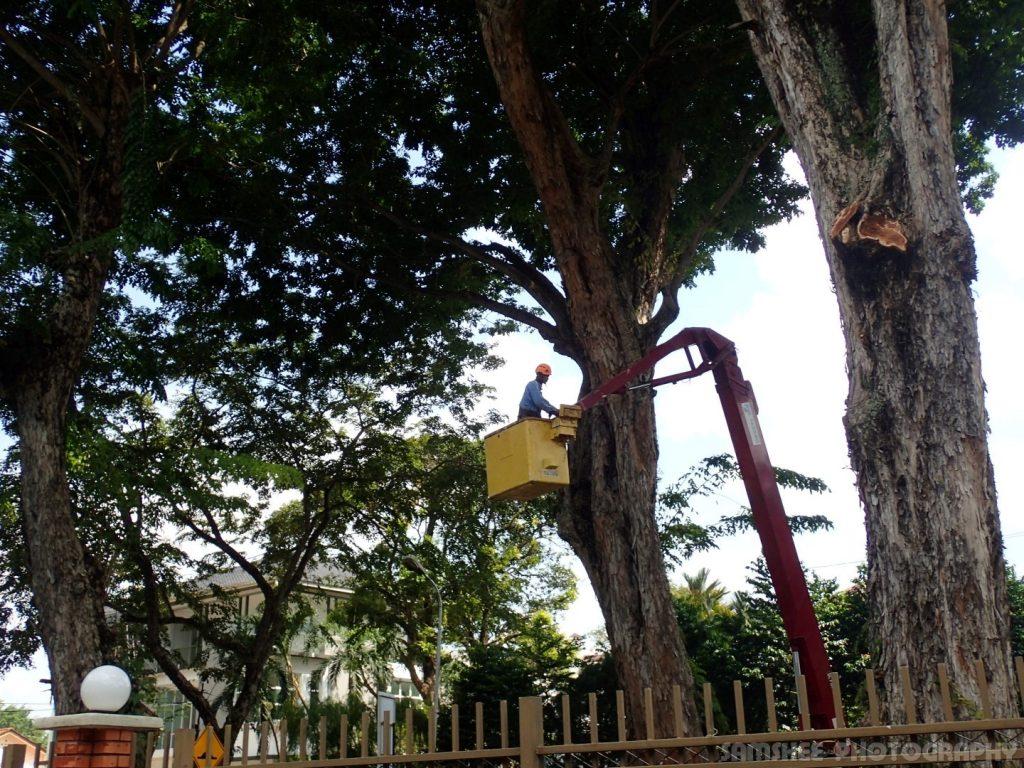 Arborists At Work Penang Heritage Trees