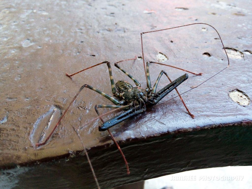 Cebu Whip Spider